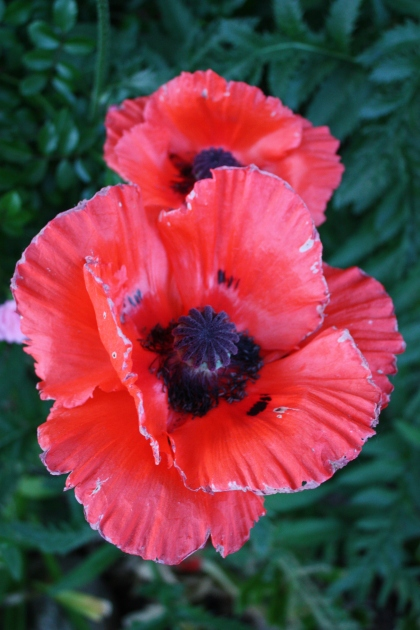 enormous red poppies