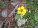 mountain buttercup