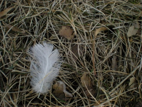 white feather in brown grass
