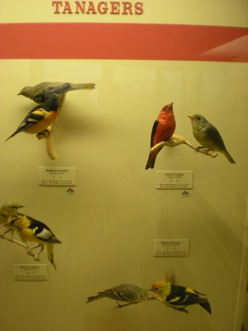 tanager (bird) display
