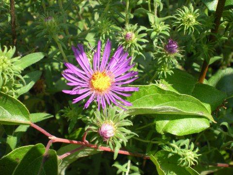 American picnic: purple aster