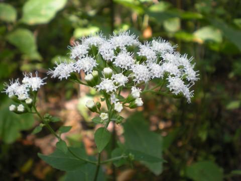 American picnic: white flower