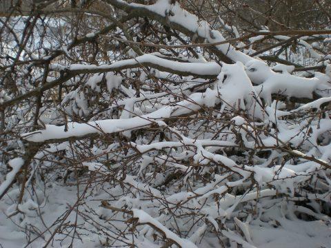 snowy fallen branches