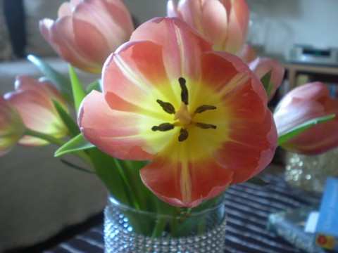 pink&yellow open tulip