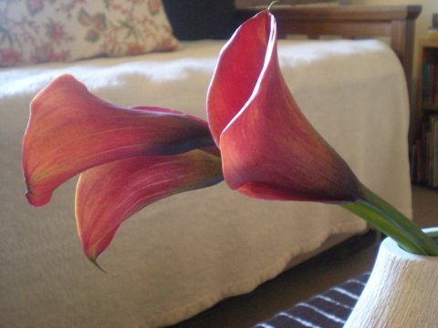 red mini calla lilies