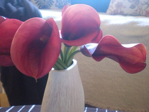 red mini calla lilies, view of throat